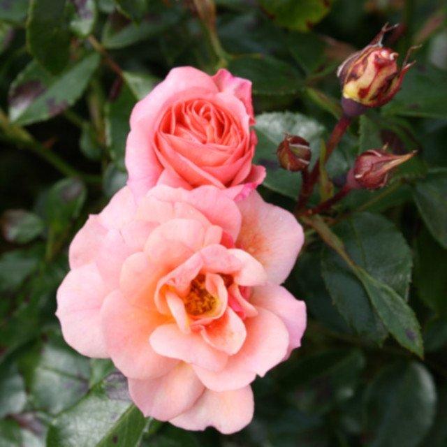 Aprikola blomster i udspring og knop