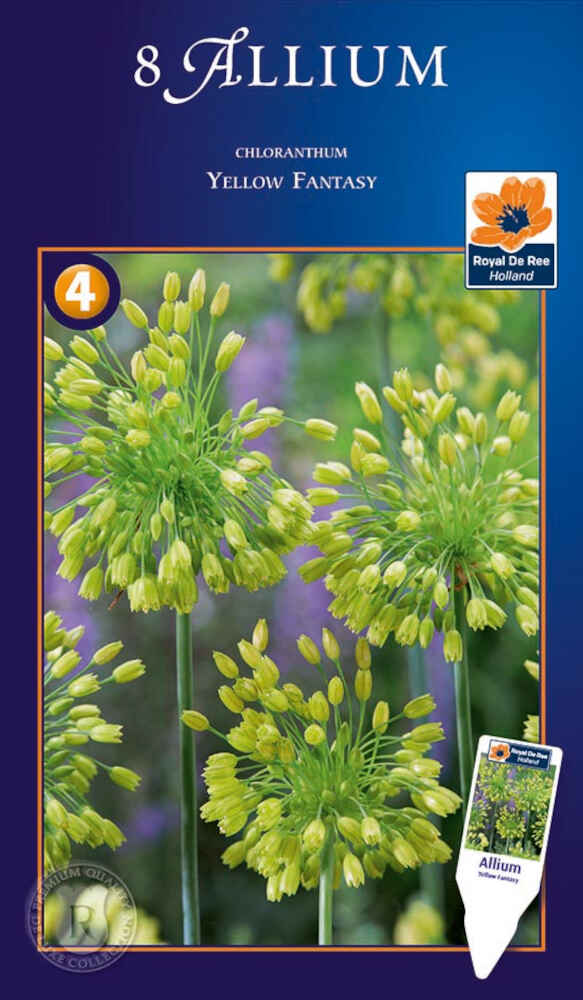 Prydløg - Allium Chloranthum Yellow Fantasy 6/+