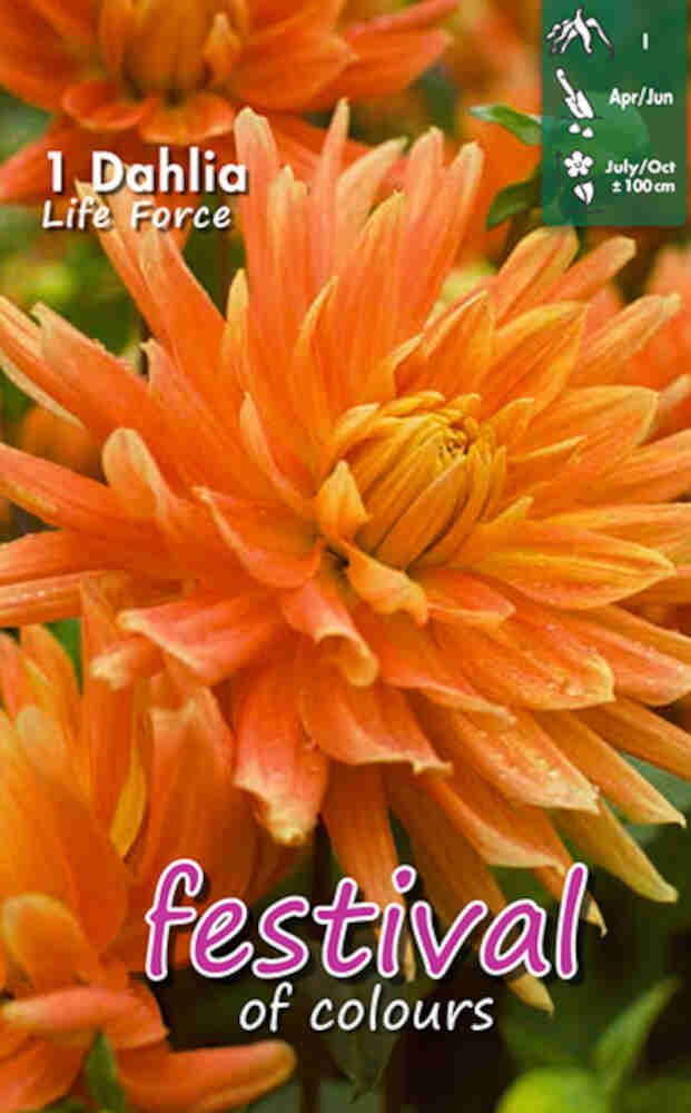 Dahlia Life Force Decorative