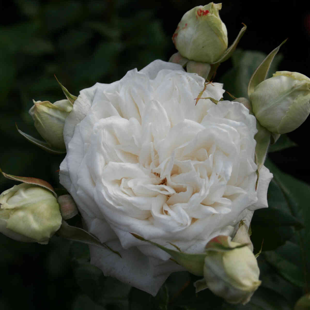 Rose 'Claus Dalby'