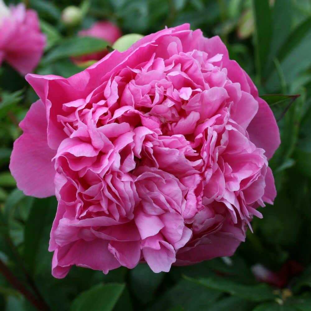 Silkepæon - Paeonia lactiflora 'Ellen Cowley'