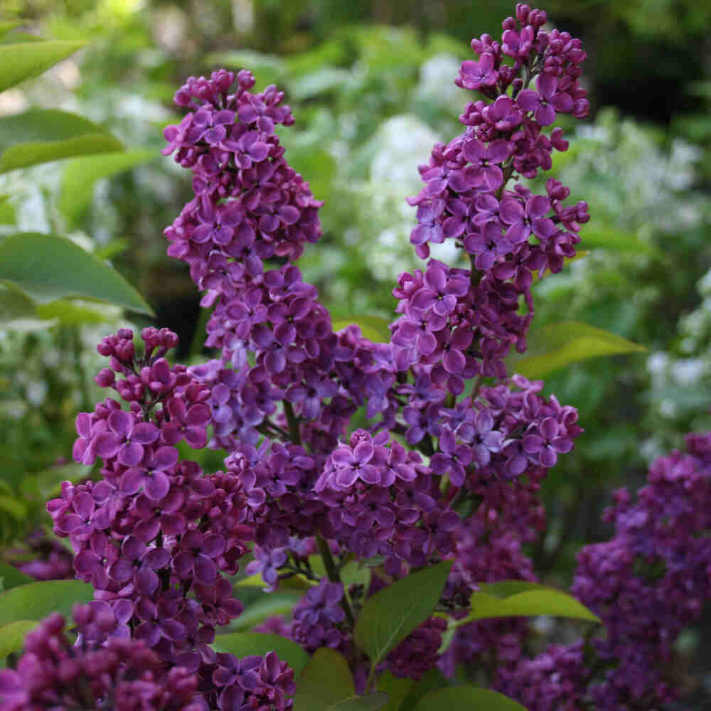 Almindelig syren - Syringa vulgaris 'Ludwig Spaeth'