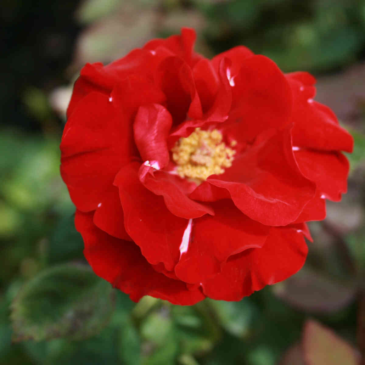 Rose 'H. C. Andersen'
