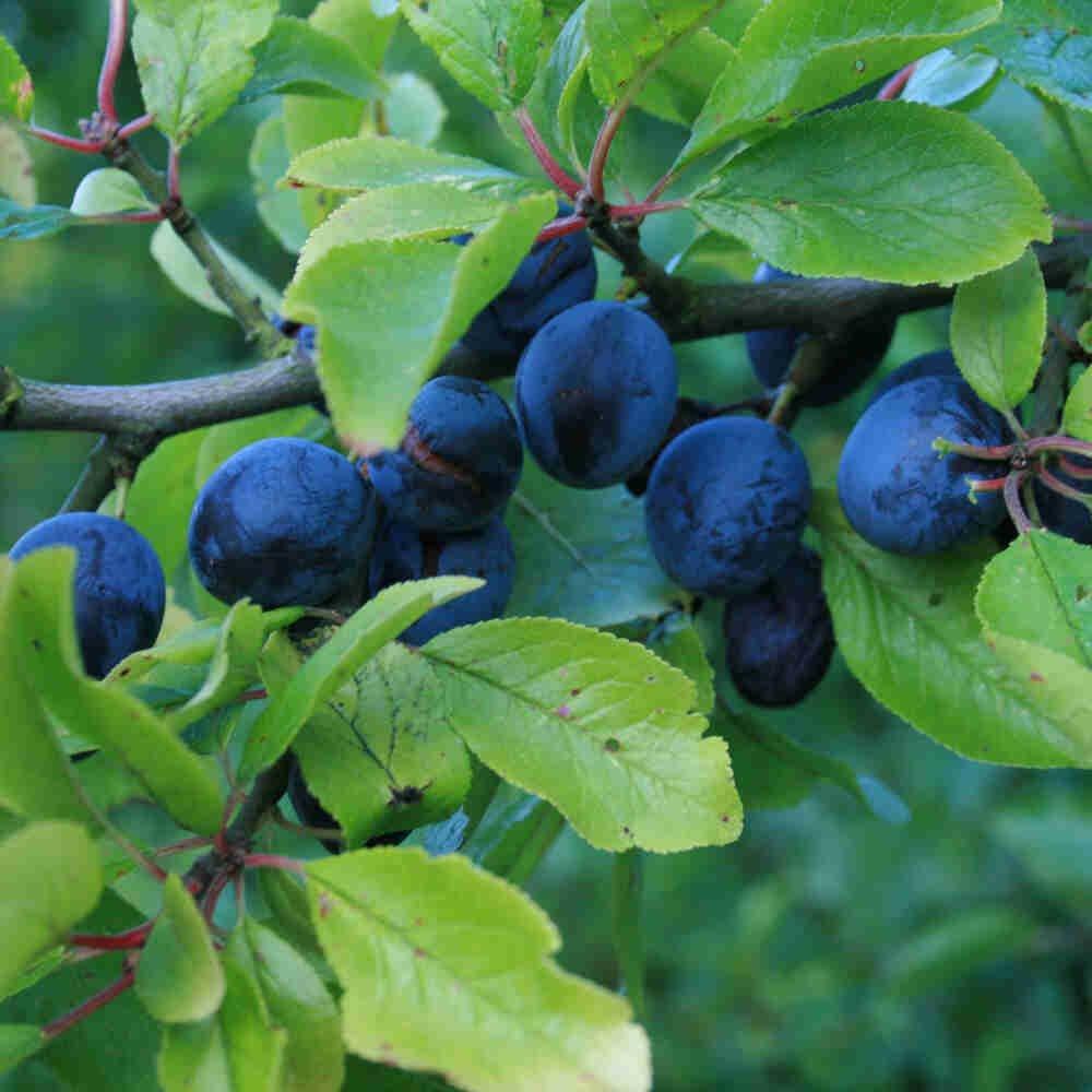 Blommetræ - Kræge Prunus domestica ssp. insititia