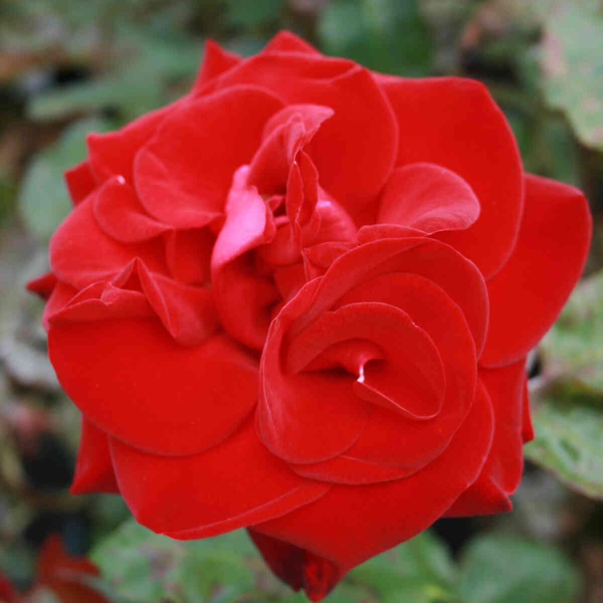 Rose 'Marlene'