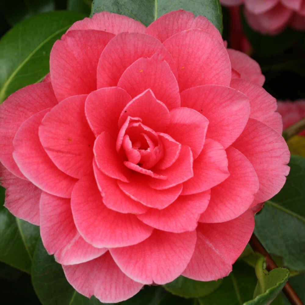 Kamelia - Camellia japonica 'Mrs Tingley'