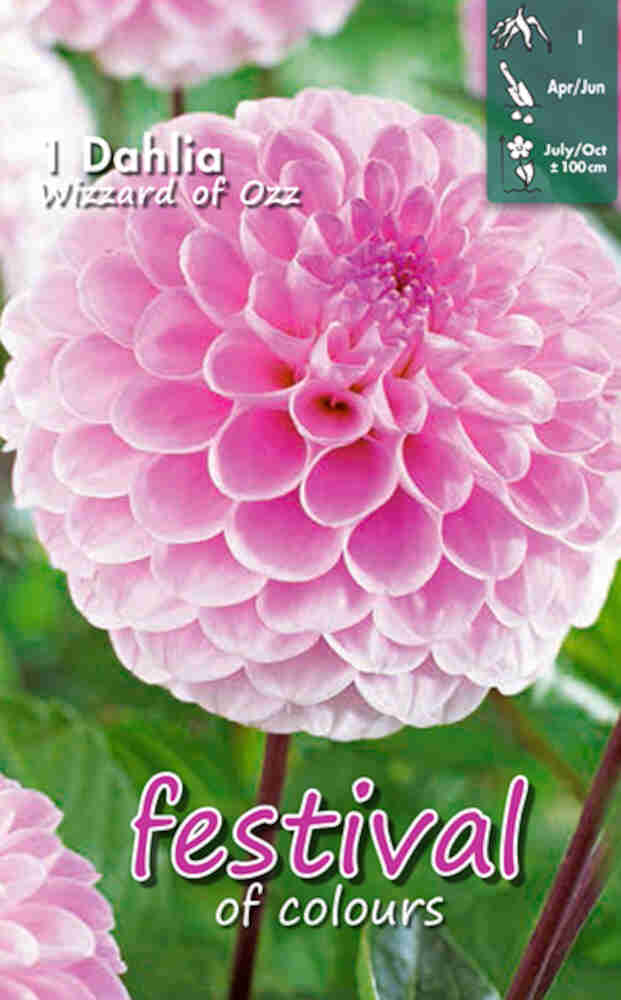Dahlia pompon Wizard of Oz Ball