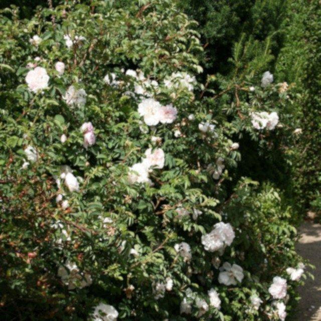 Klitrose pimpinellifolia 'Stanwell Perpetual
