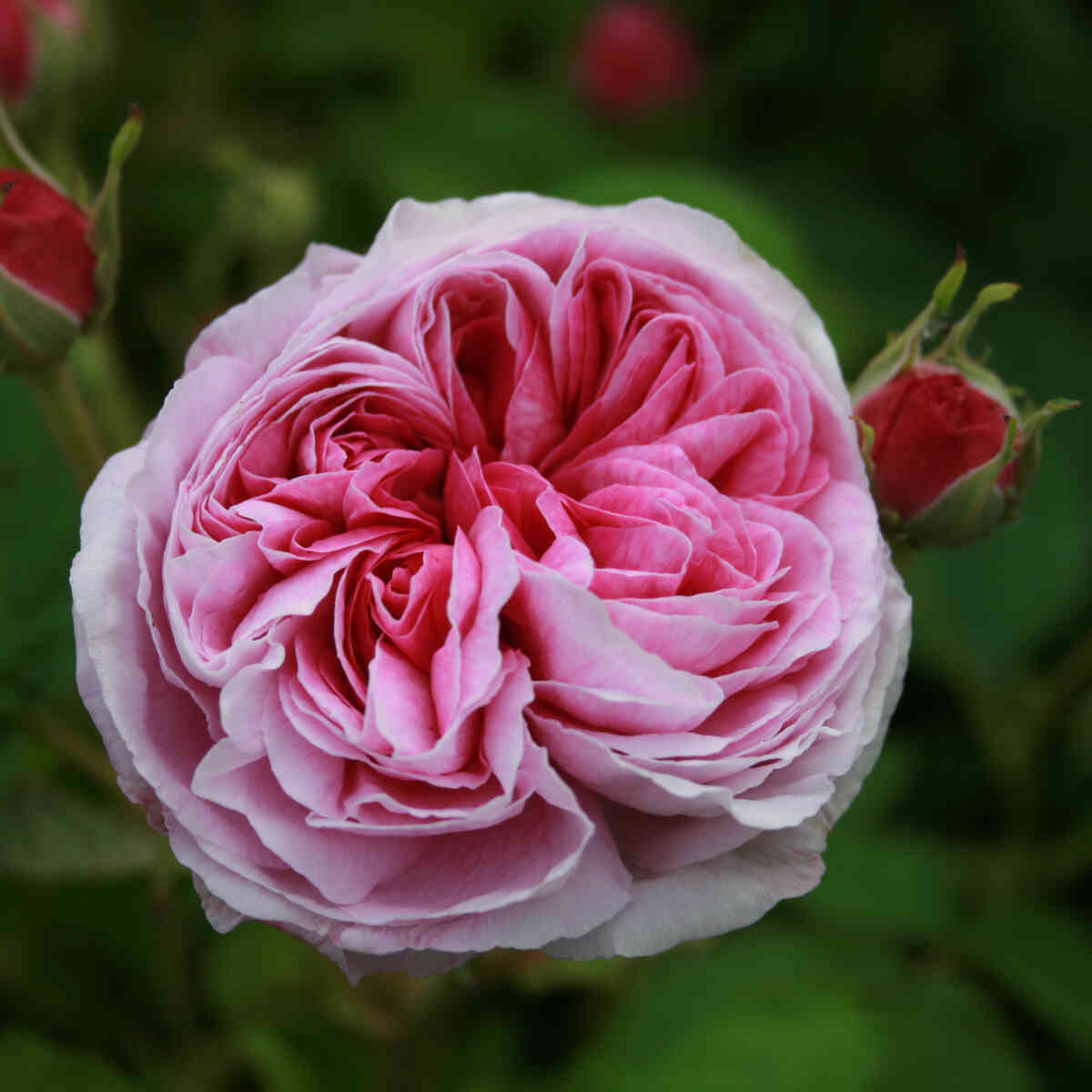 Rose gallica 'Aimable Amie'