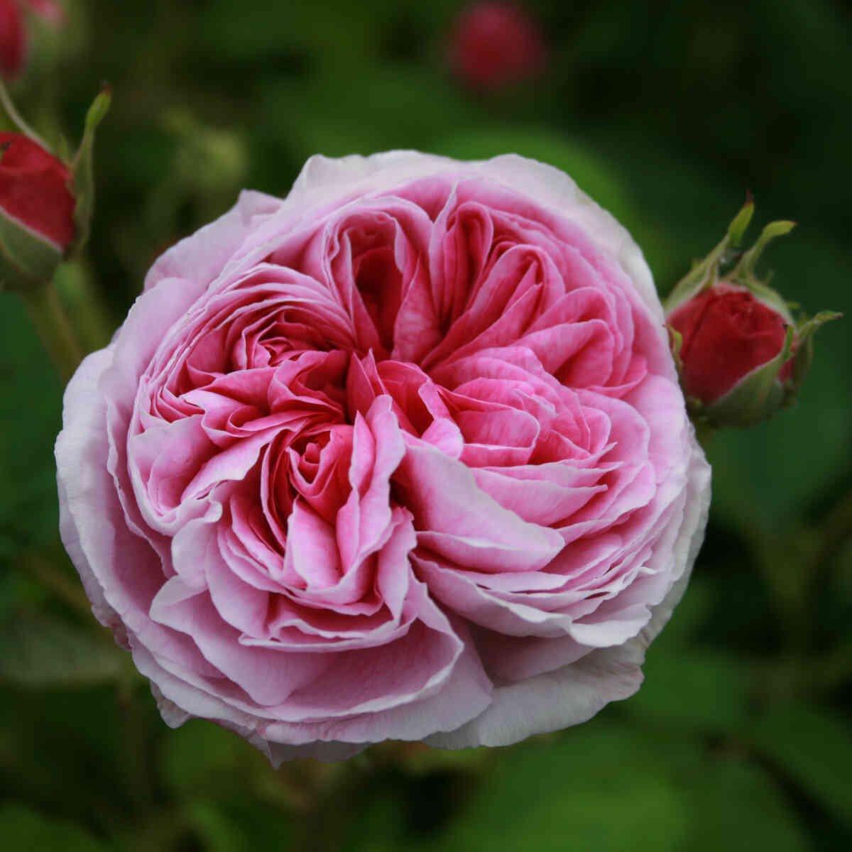 Rosa gallica 'Aimable Amie'