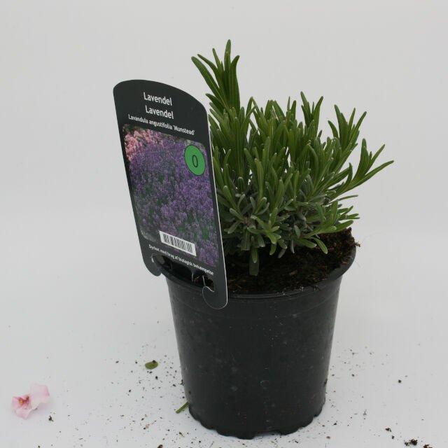 Lavendel - Lavandula angustifolia 'Munstead'