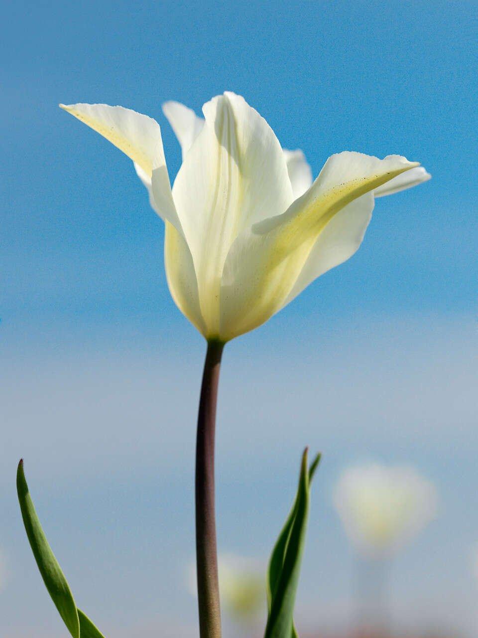 Tulipanløg - Tulipa  Lily-Flowered White Triumphator (12/+)