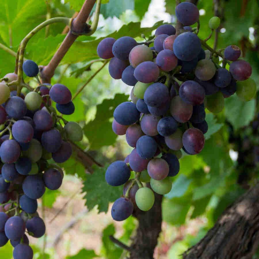 Vindrueplante - Vitis vinifera 'Kyoho botrus' - Stor