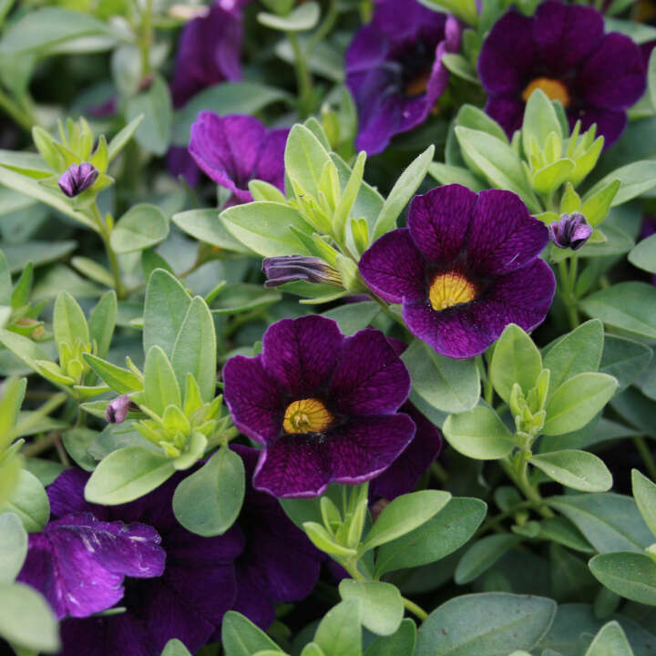 Petunie mini - Calibrachoa hybrid Violet