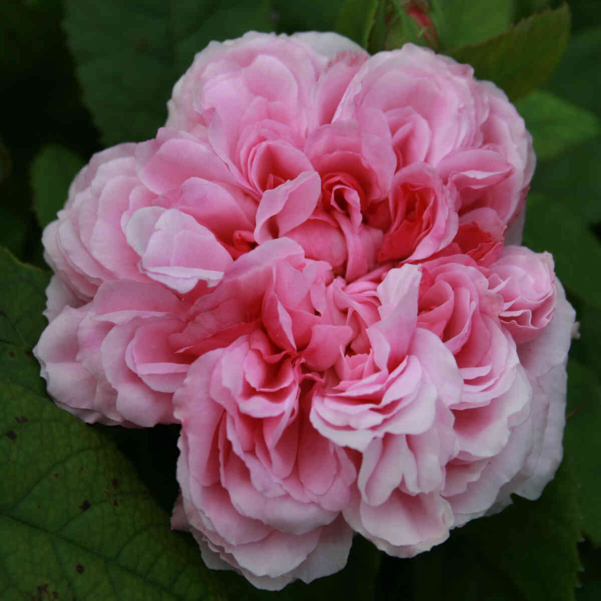Historisk rose 'Jacques Cartier'