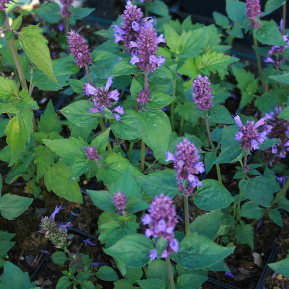 Anisisop - Agastache hybrid 'Blue Boa'®