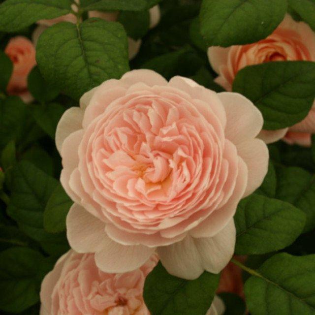 Rose 'Queen Of Sweeden'
