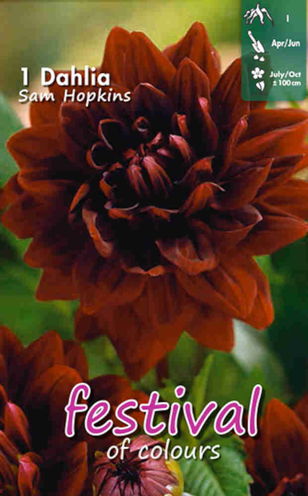 Dahlia 'Sam Hopkins Decorative'