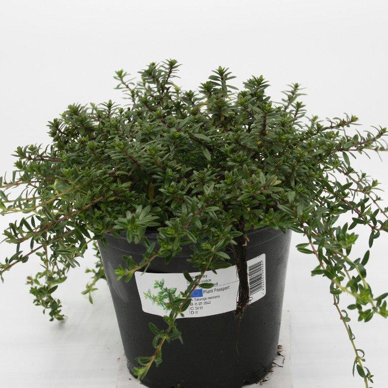 Sar - Satureja montana - 14cm potte