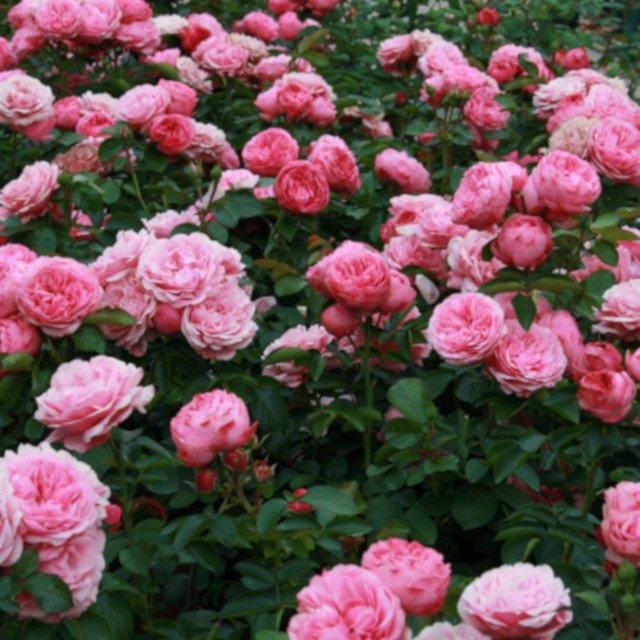 Rose Leonardo da vinci i blomster beder
