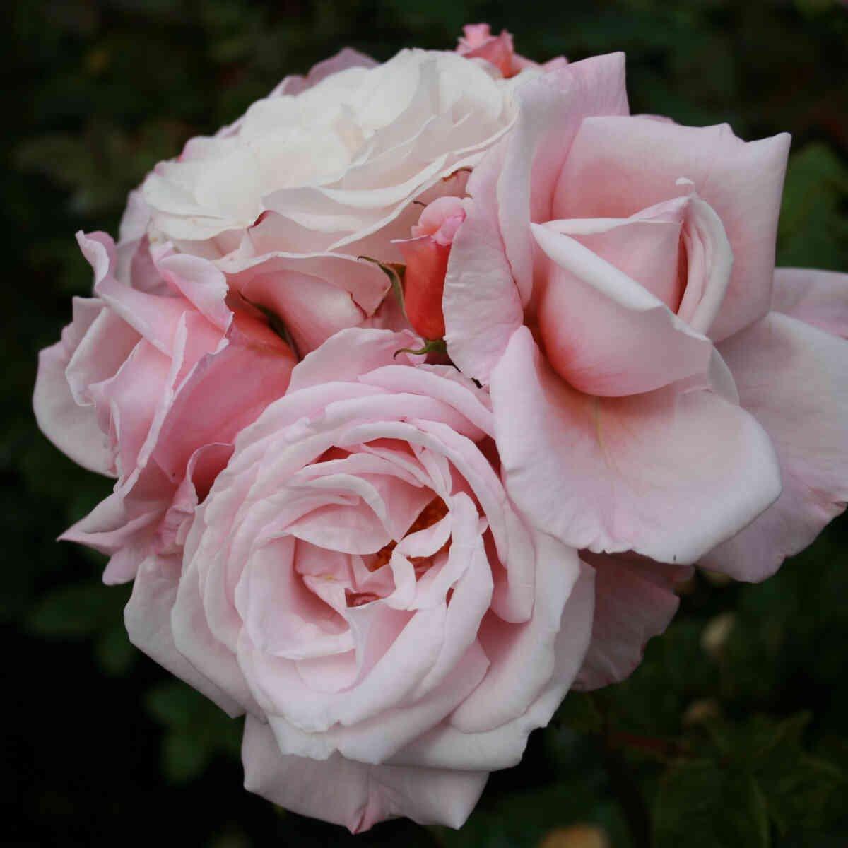 Rose 'Sachsenperle'