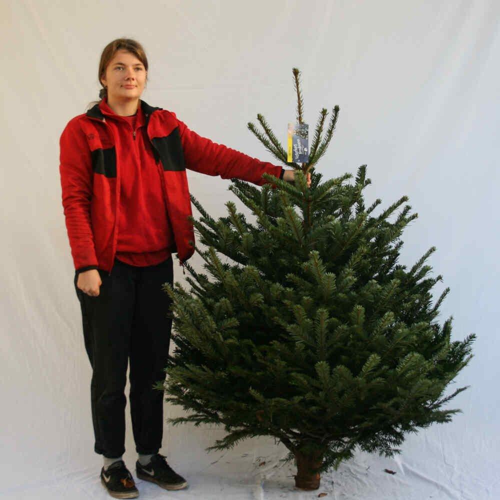 Juletræ - Nordmannsgran - 150-175cm