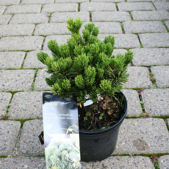 Dværgfyr - Pinus mugo 'Picobello'