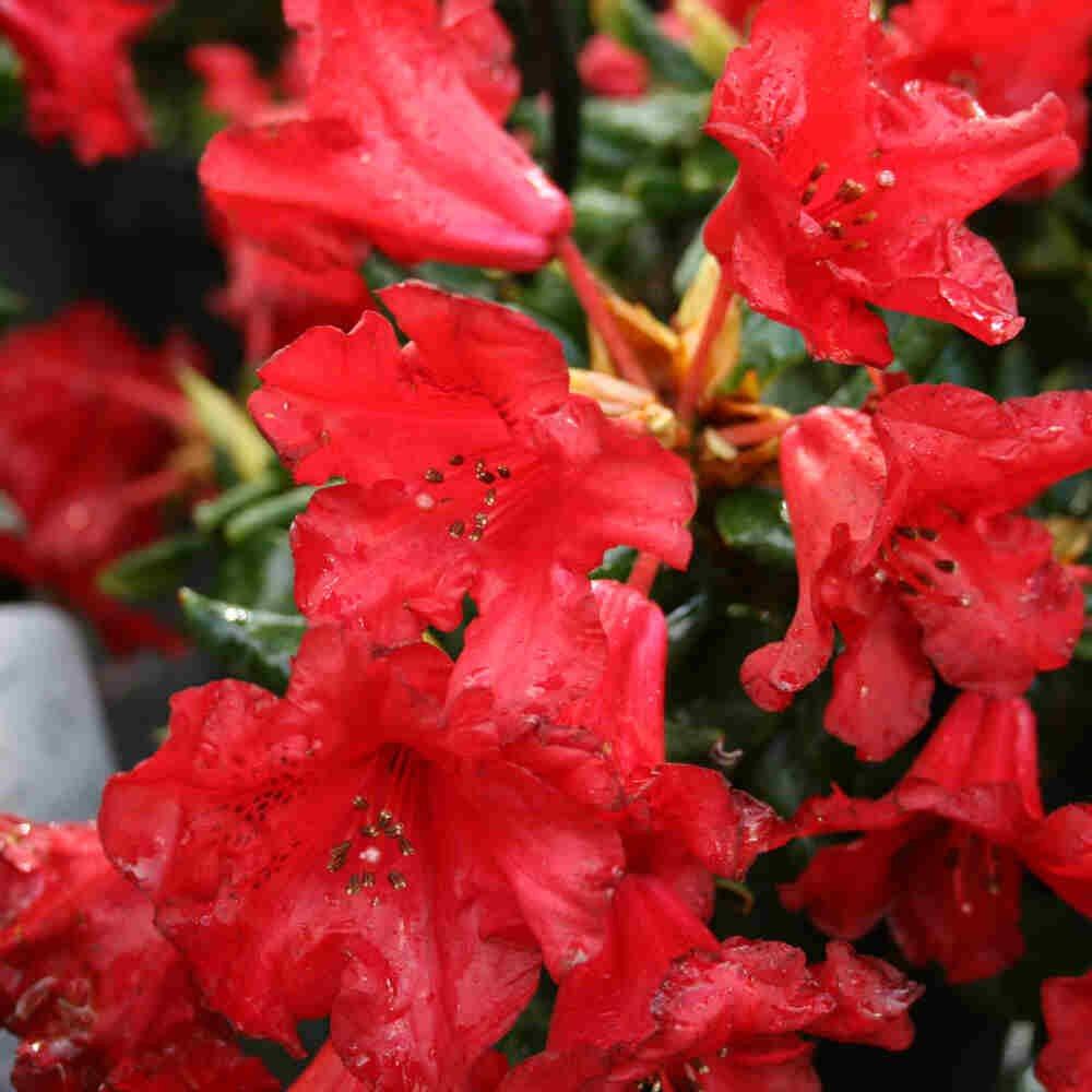 Dværgrhododendron - Rhododendron 'Baden Baden'