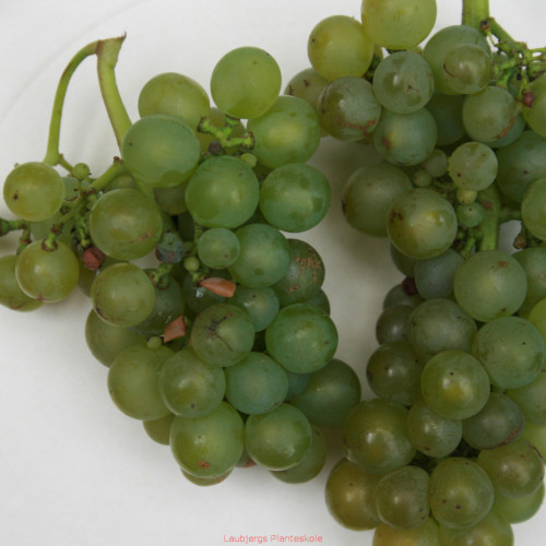 Vindrueplante - Vitis vinifera 'Solaris'