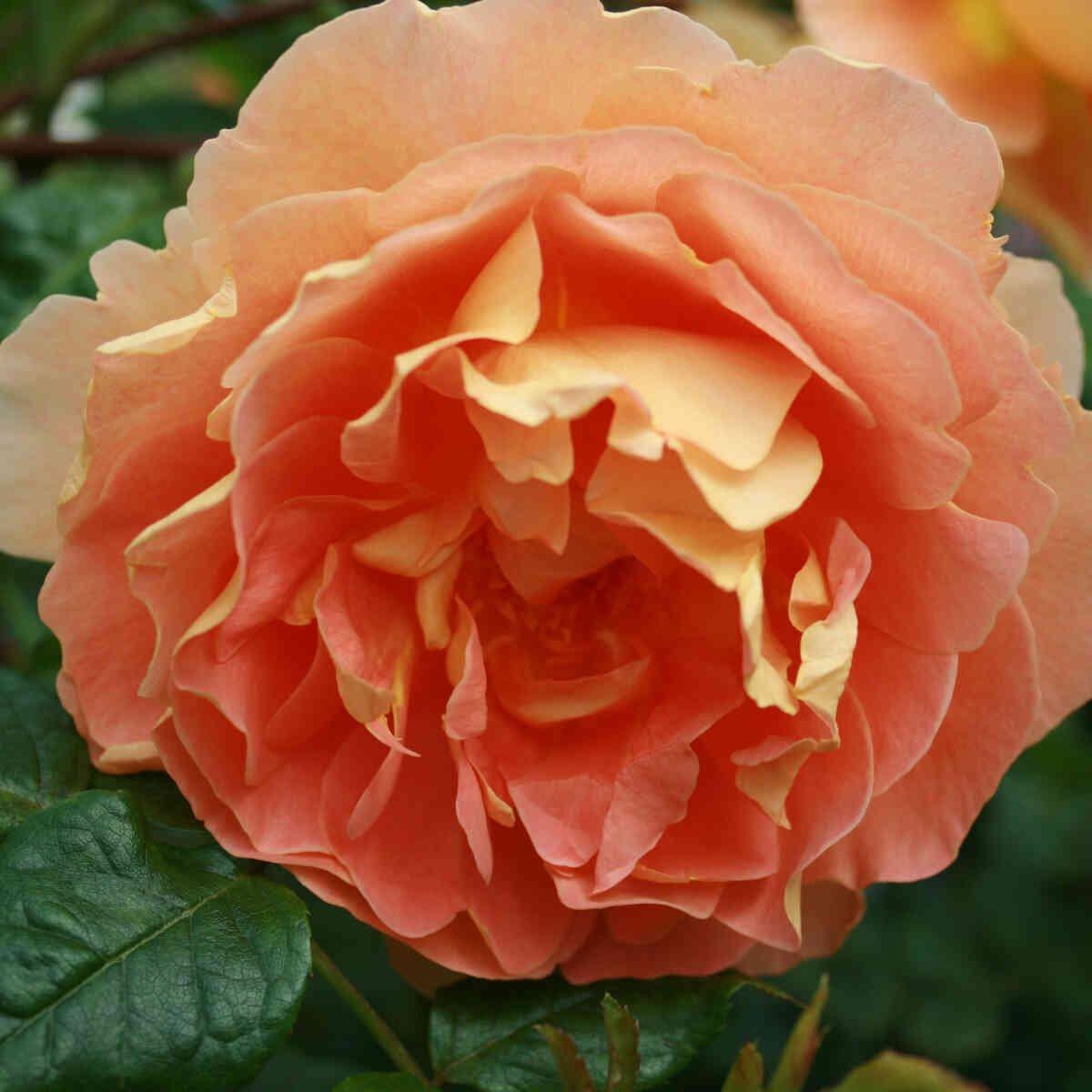 Rose 'Carolyn Knight'