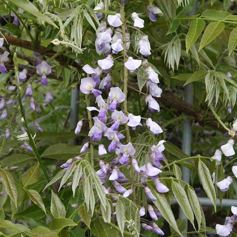 Blåregn - Wisteria floribunda 'Ito koku rio' -