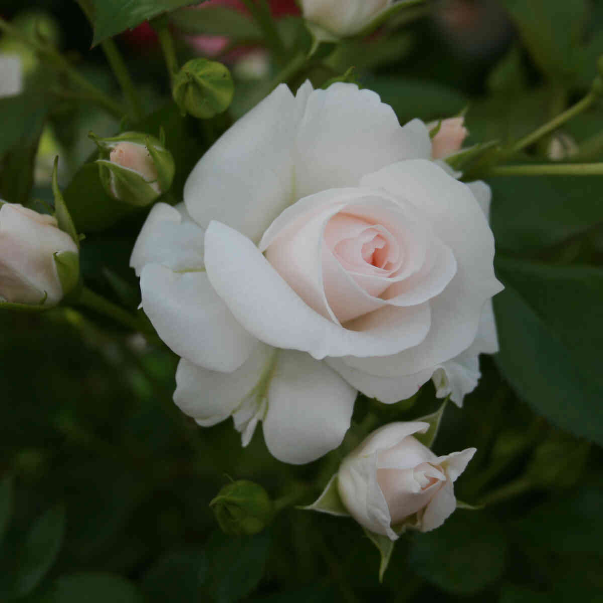 Hvide blomster i Aspirin rosen