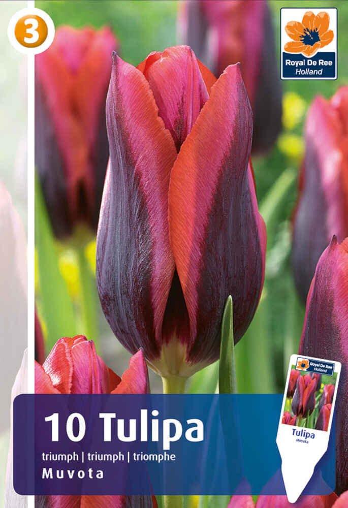 Tulipanløg - Tulipa Muvota / Slawa 11/12