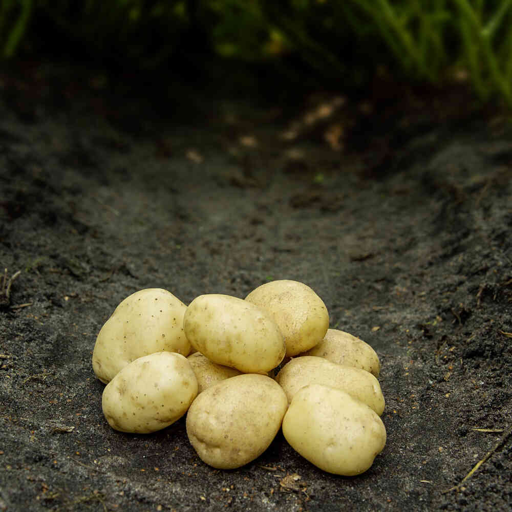 Hansa læggekartofler på jorden