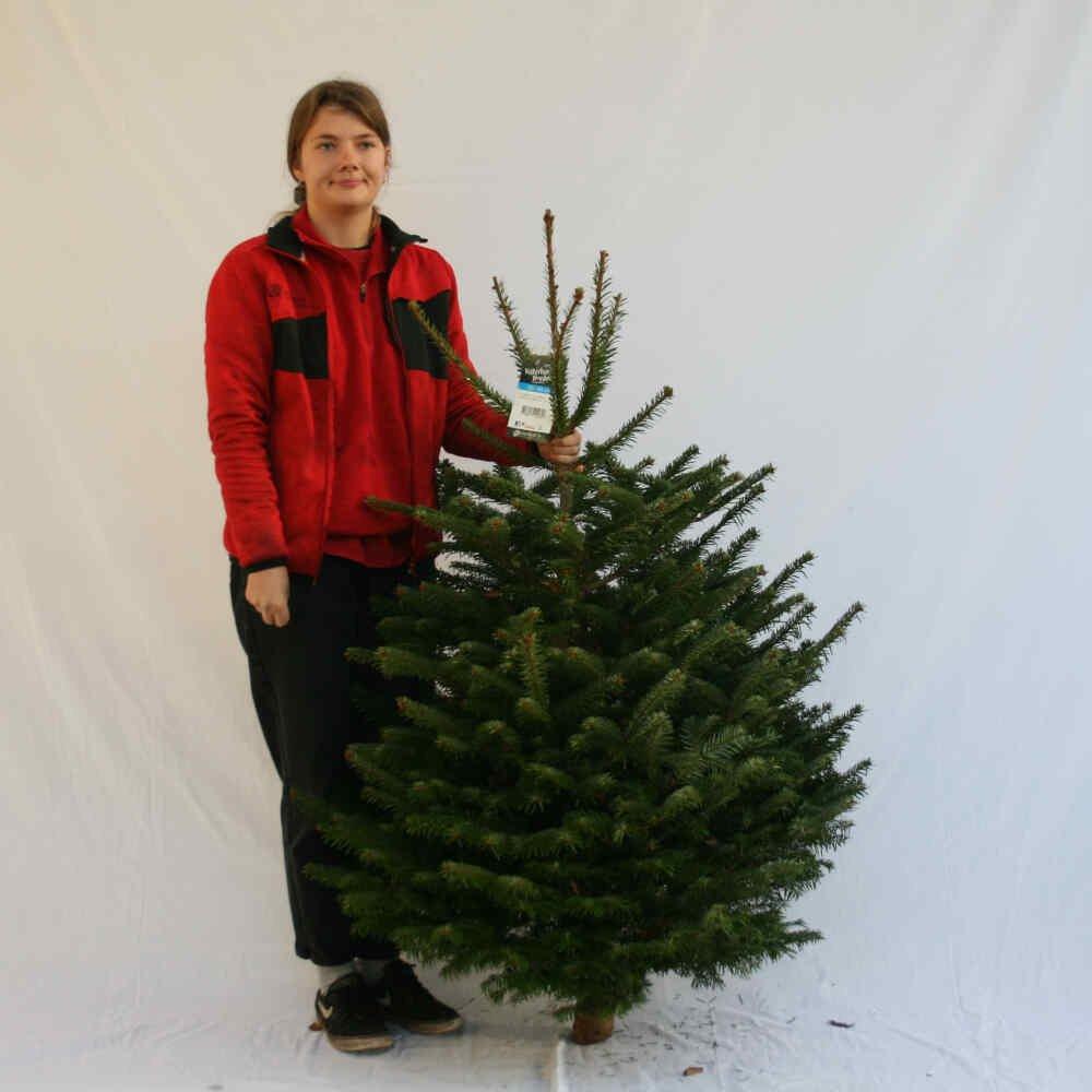 Juletræ - Nordmannsgran - 125-150cm