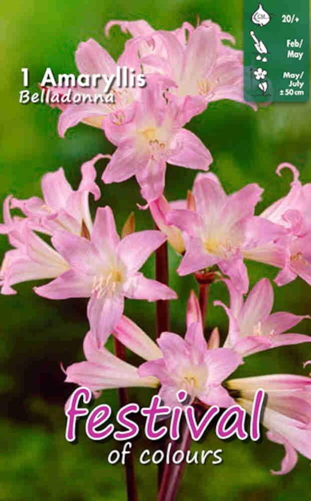 Amaryllis 'Belladonna' 20/+