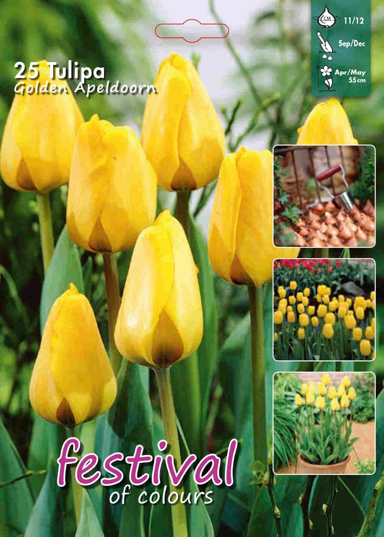 Tulips Golden Apeldoorn 12/+ Big bag