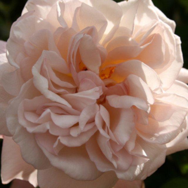 Engelsk rose Cymbaline i blomst