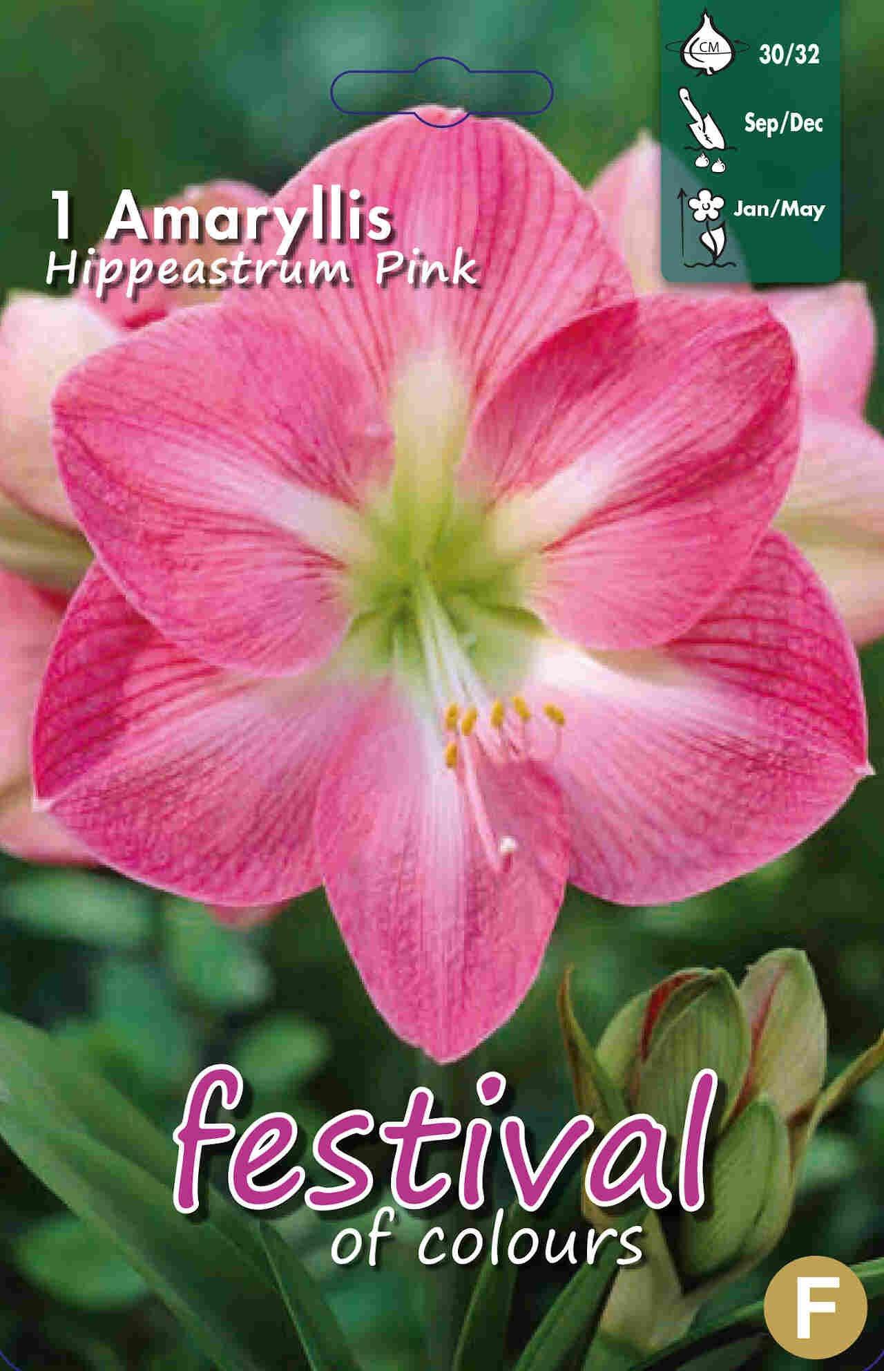 Amaryllis Pink 30/32