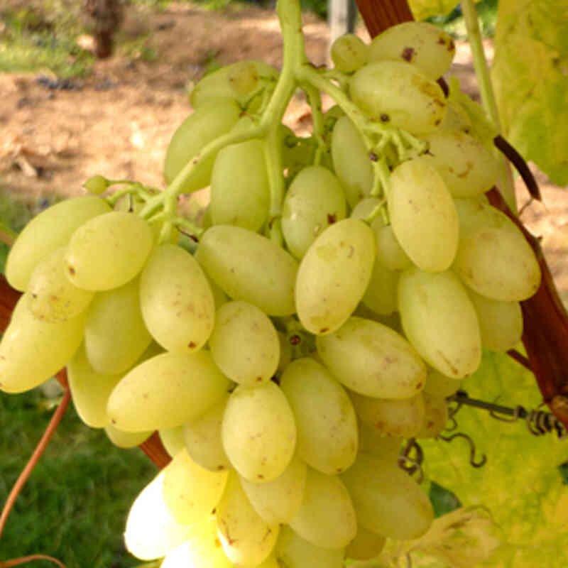 Vindrueplante - Vitis vinifera 'Centennial'