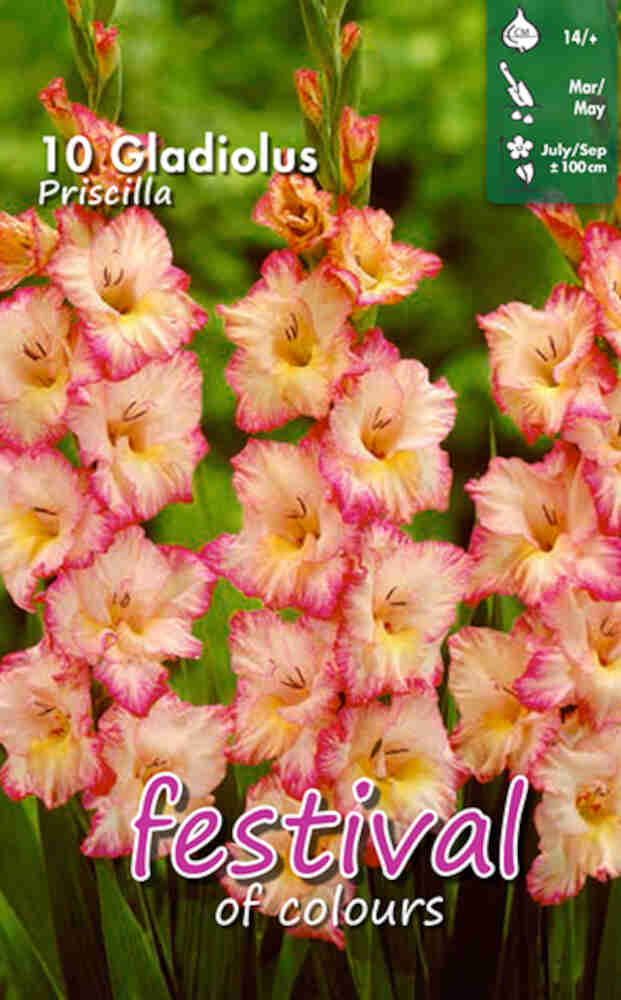 Gladiolus Priscilla large flowering, 7 stk