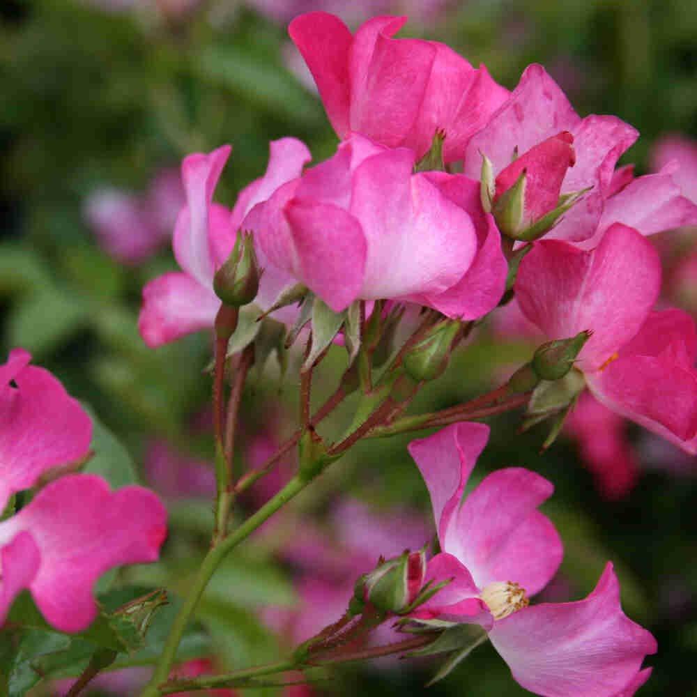 Bunddække Rose 'Fil de Saison'