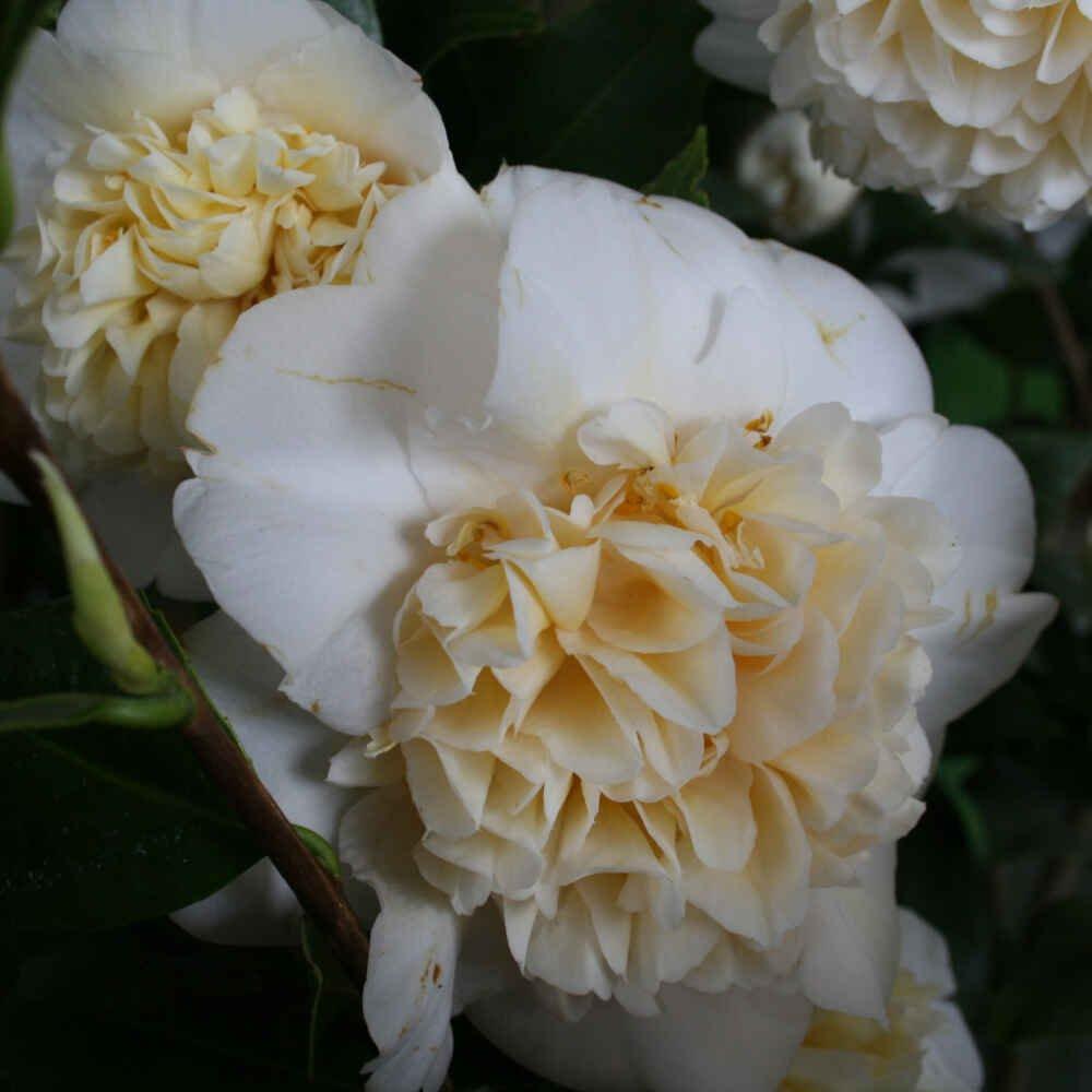 Kamelia - Camellia japonica 'Brushfield's Yellow'
