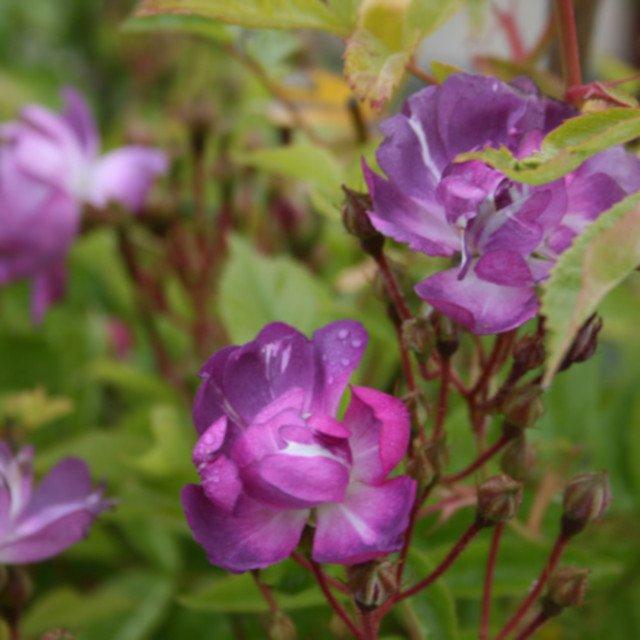 Slyngrose 'Veilchenblau'