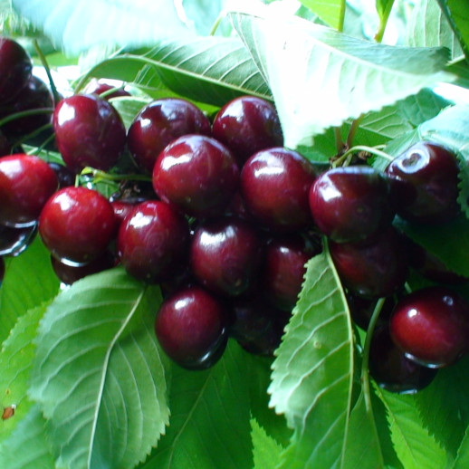 Kirsebærtræ - Prunus avium `Lapins´