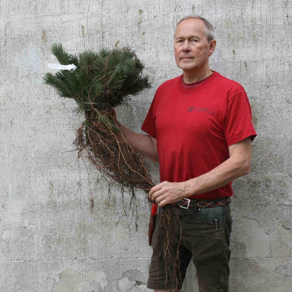 Fransk Bjergfyr - Pinus uncinata