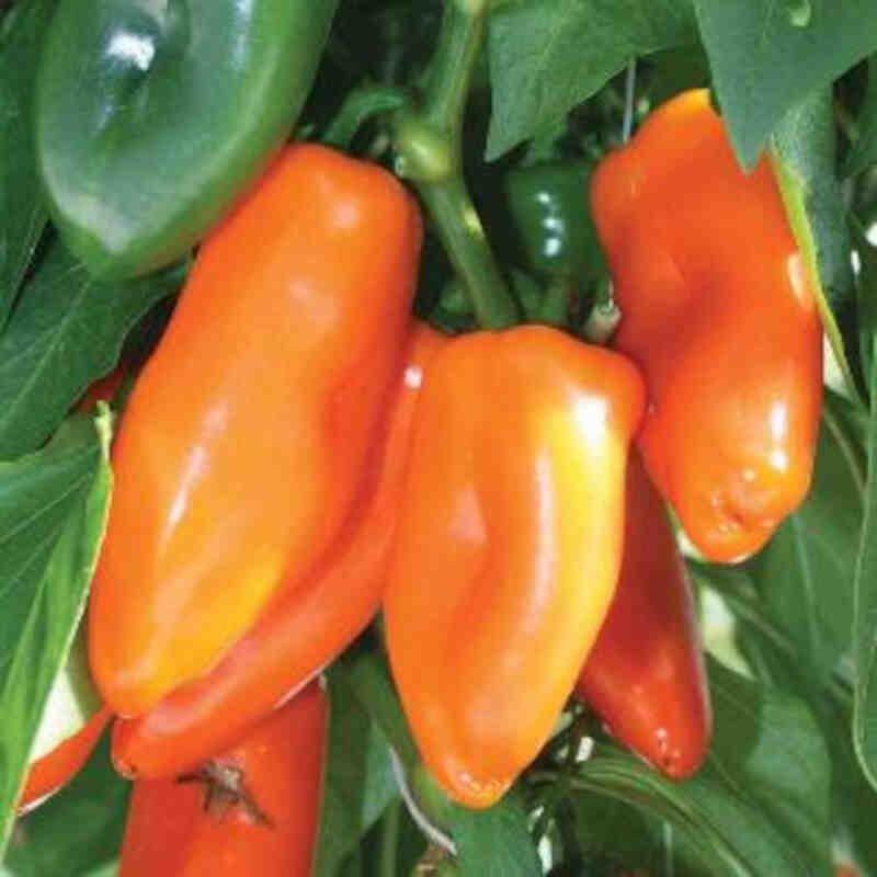 Peberplante - Snackpeber 'Sweet orange'