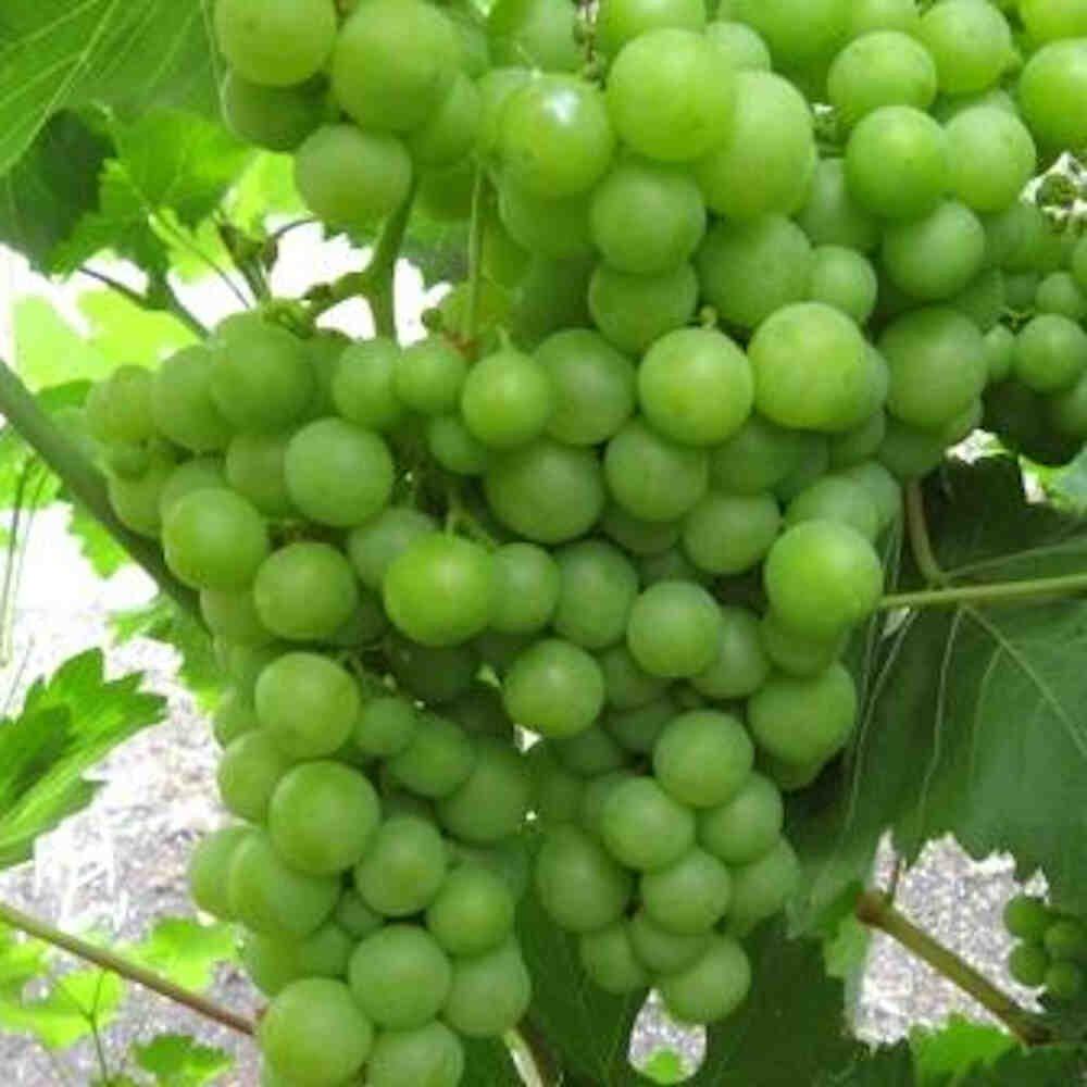 Vindrueplante - Vitis vinifera 'Himrod'