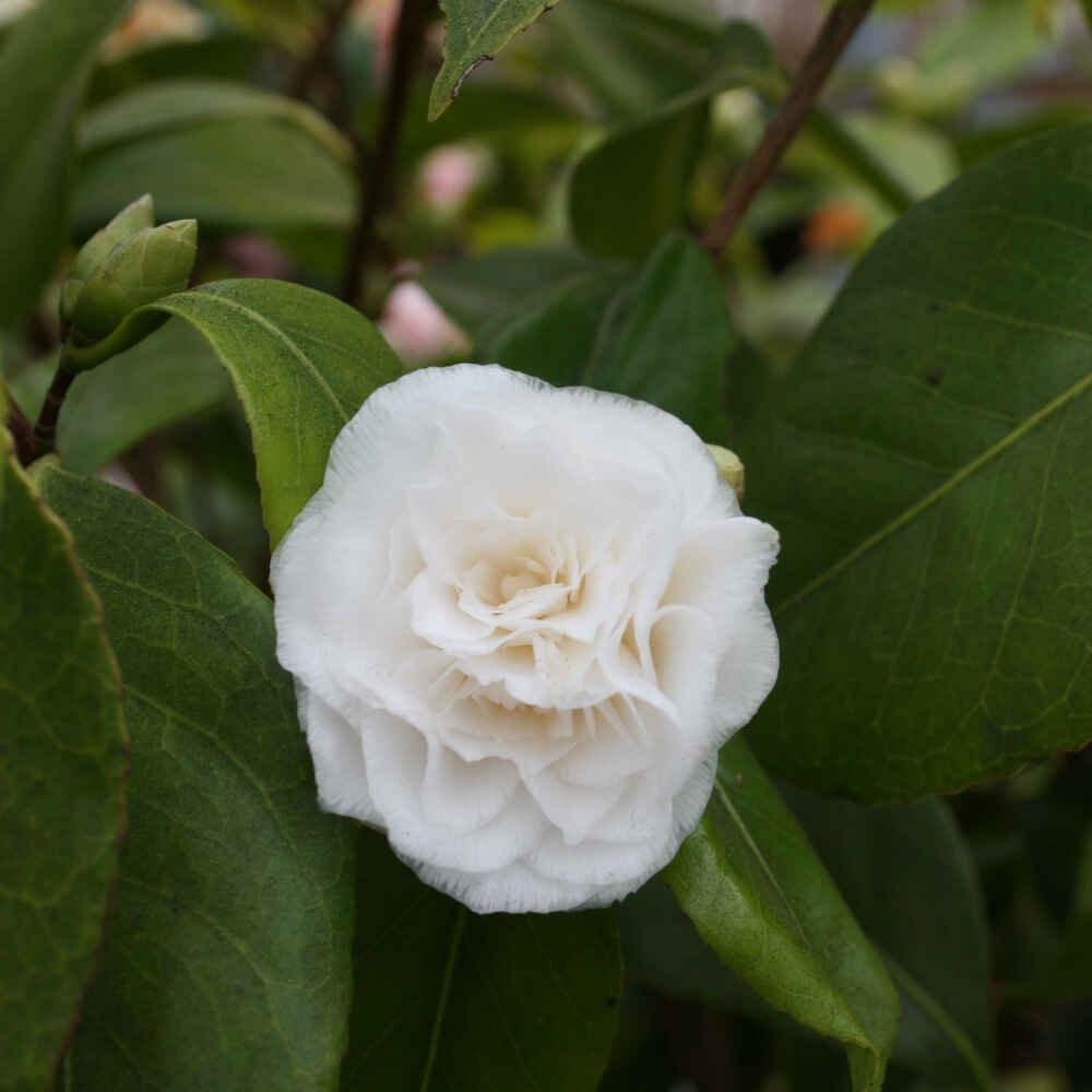 Kamelia - Camellia 'Vergine de Collebeato'