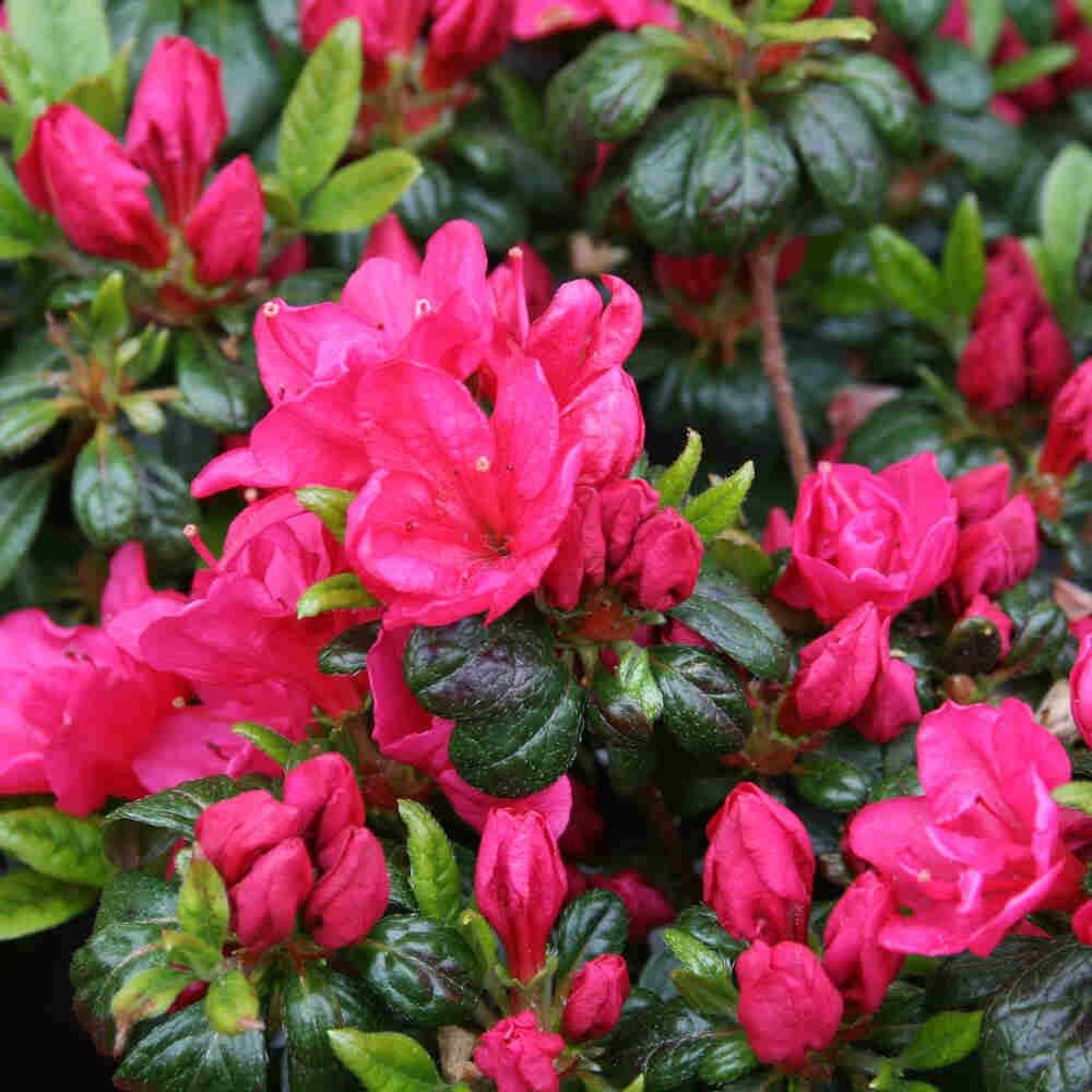 Japansk azalea - Rhododendron japonica 'Canzonetta'